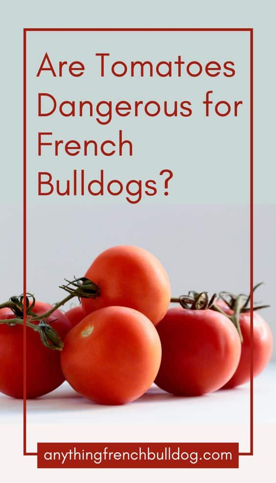 Are Tomatoes Dangerous for French Bulldogs