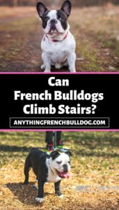 Can French Bulldogs Climb Stairs