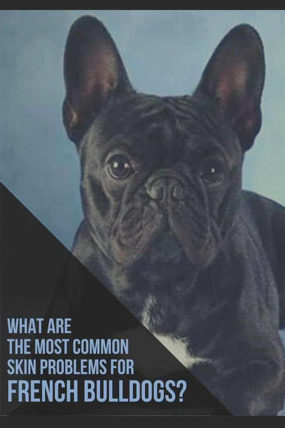 Common Skin Problems for French Bulldogs