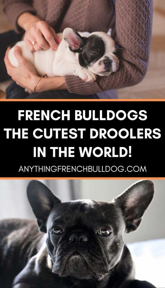 Do French Bulldogs Drool a Lot