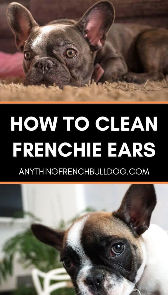 How to clean French buuldog Ears