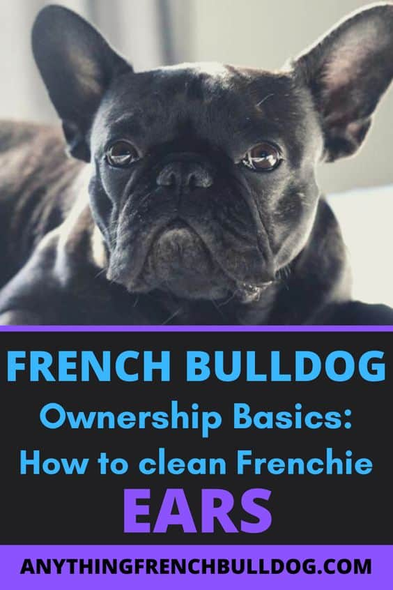 French Bulldog Ownership Basics: How to clean Frenchie Ears