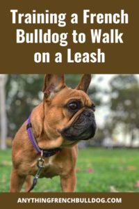 Training a French Bulldog to Walk on a Leash