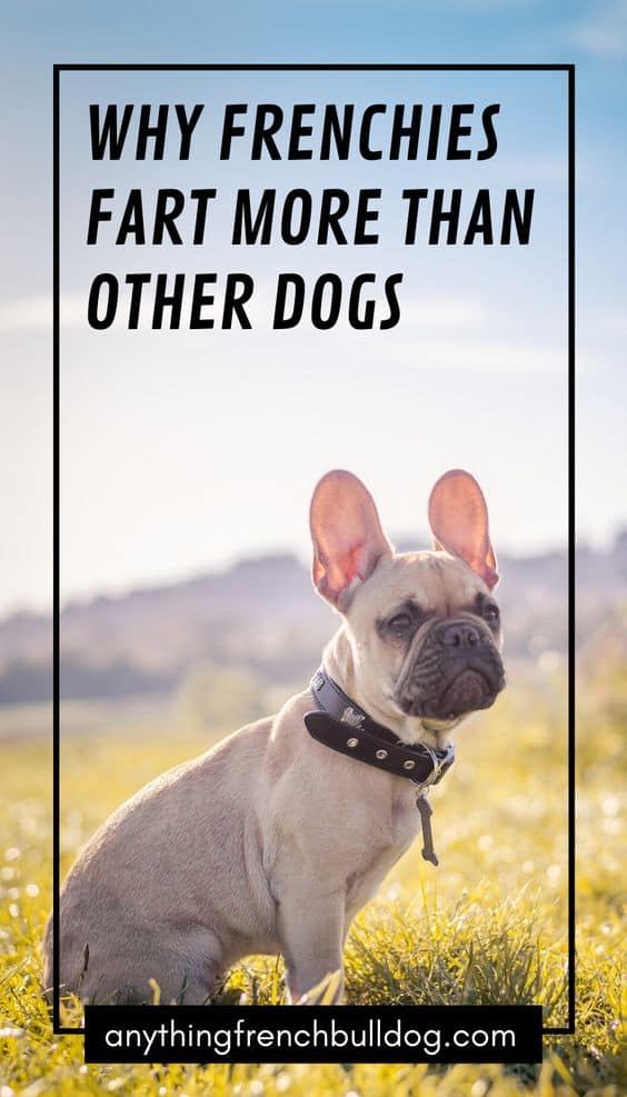 Why French Bulldogs Fart So Much