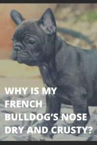 Why Is My French Bulldog's Nose Dry and Crusty