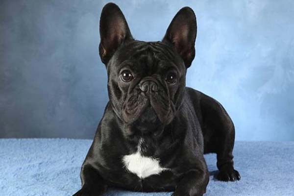 French Bulldog Pimples Around Mouth
