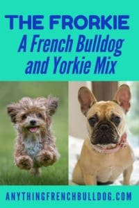 French Bulldog and Yorkie Mix