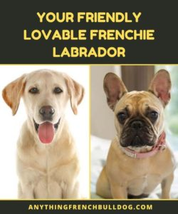 Frenchie Labrador