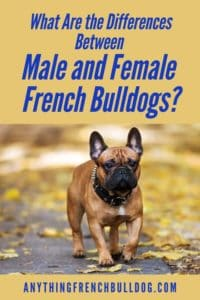 What Are the Differences Between Male and Female French Bulldogs