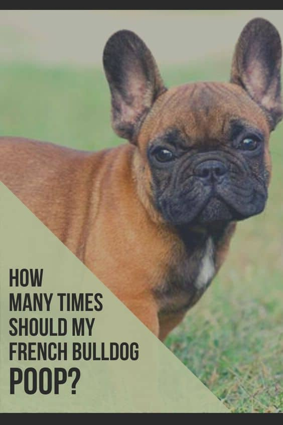 How Many Times Should My French Bulldog Poop
