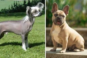 french bulldog chinese crested mix