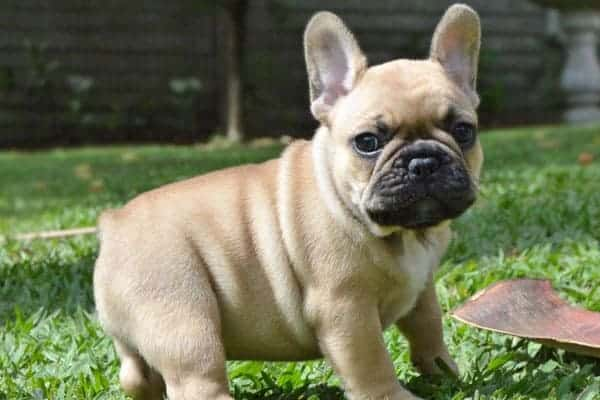 how can i stop my french bulldog from eating poop