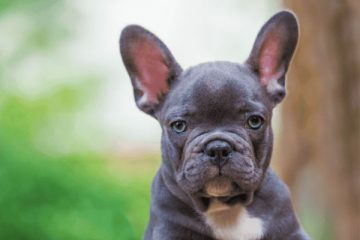 what can french bulldogs eat