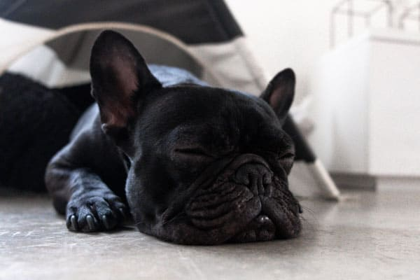 why do french bulldogs snort
