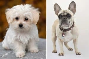 French Bulldog Maltese Mix