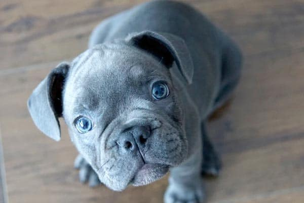 How Many Times Can a French Bulldog Have Puppies