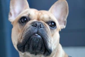 can french bulldogs see in the dark
