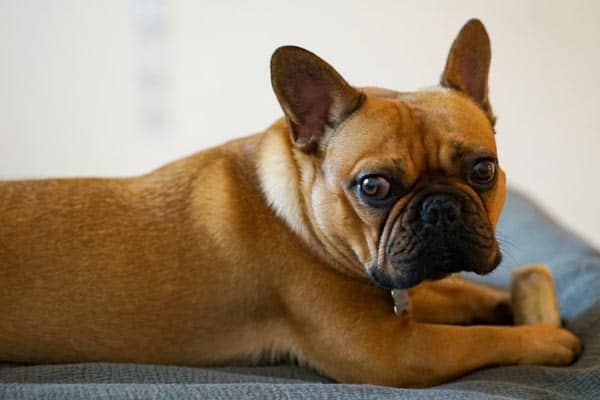 French Bulldog C Section: Why Frenchies Can't Whelp ...