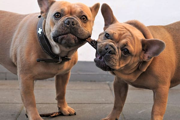 Are French Bulldogs Chewers