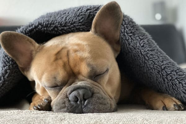 Do French Bulldogs Get Cold Easily
