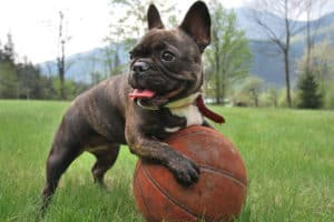 How Much Exercise Does a French Bulldog Puppy Need