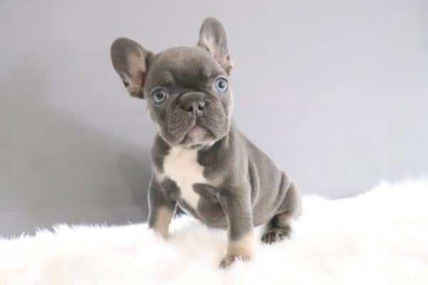 Lilac French Bulldog