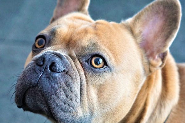 Why Do French Bulldogs Make Weird Noises