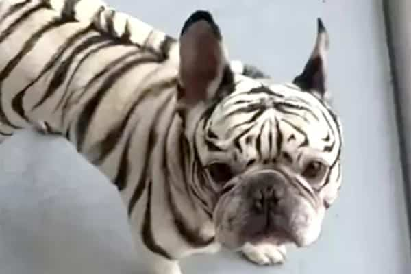 Zebra French Bulldog