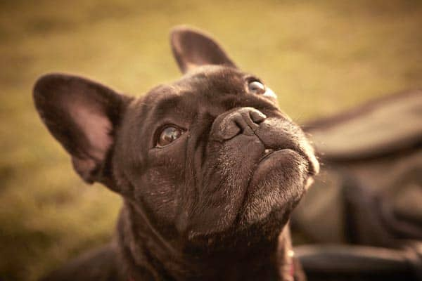 Are French Bulldogs High Maintenance