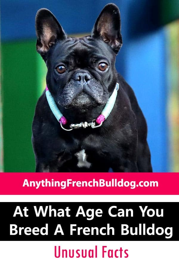 At What Age Can You Breed a French Bulldog