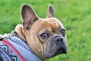 Do French Bulldog Puppies Change Color